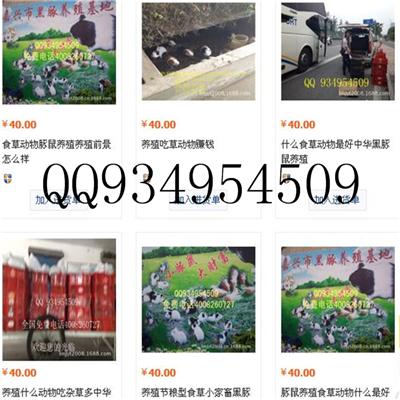 浙江中华黑豚鼠养殖基地